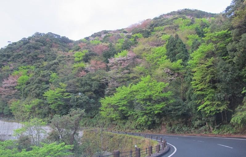 新緑と山桜