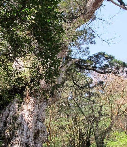 青空と縄文杉