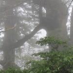 霧の夫婦杉