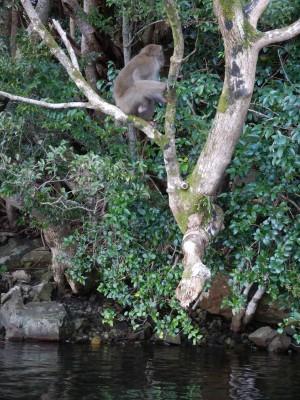 ヤクザルも木陰で涼んでいました。