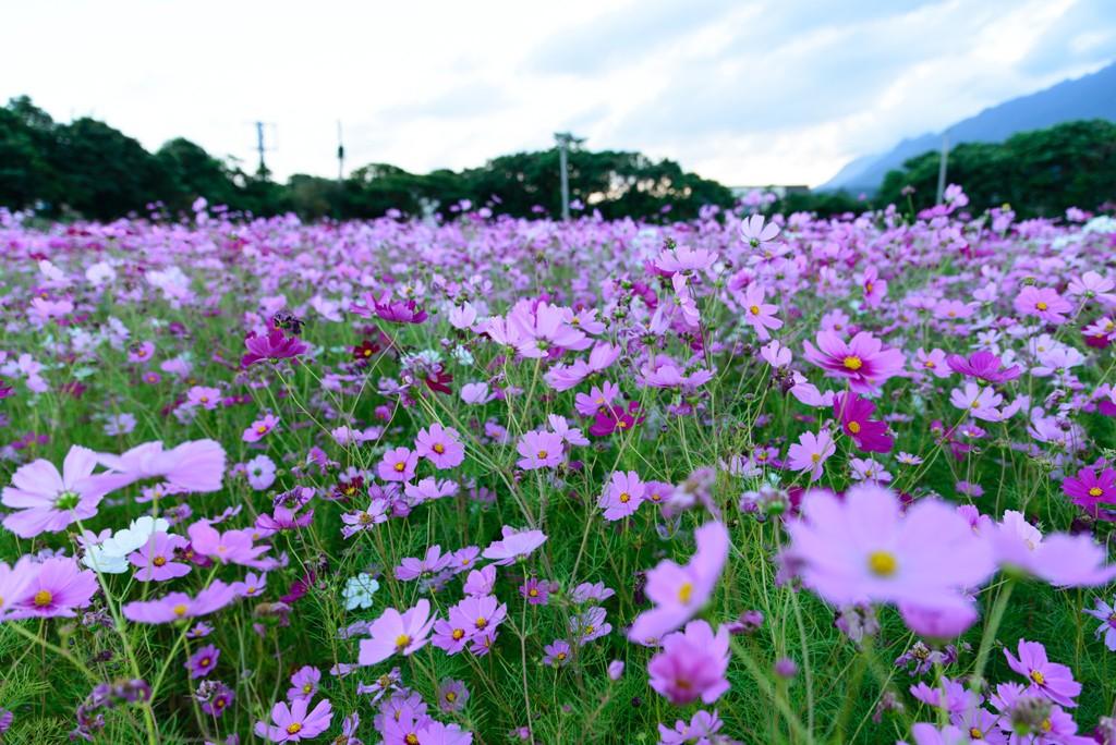 コスモス屋久島