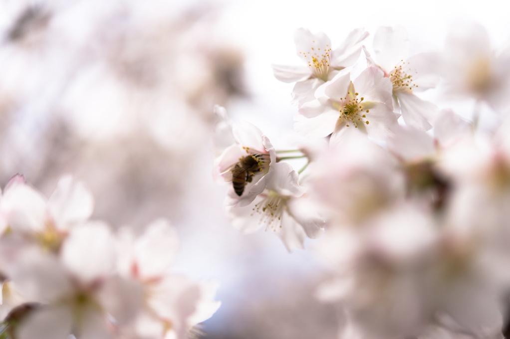 千尋滝の桜