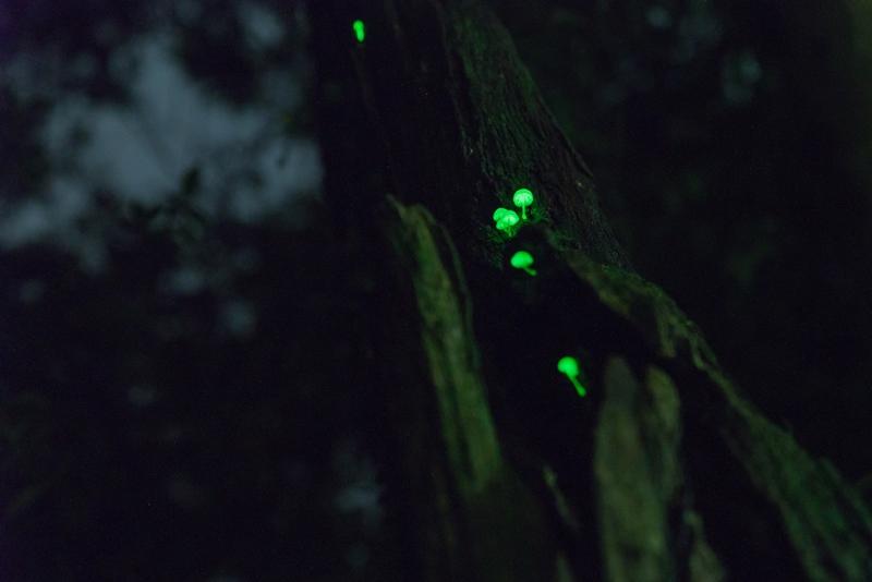 光るキノコはシイノトモシビタケ