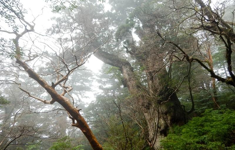縄文杉に新しい展望デッキオープン!