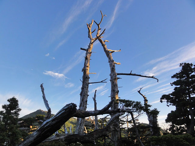 白骨樹(はっこつじゅ)