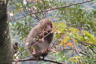 桜の花をもぐもぐ食べるヤクザル