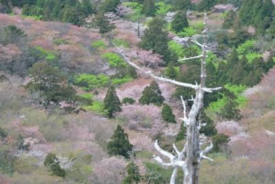 山桜と新緑の太鼓岩