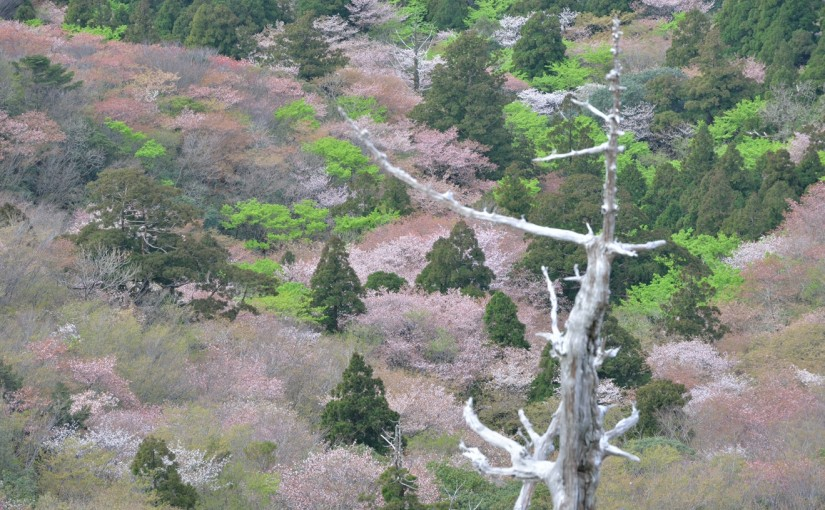 太鼓岩から見渡す山桜