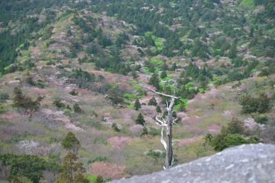 太鼓岩からの山桜