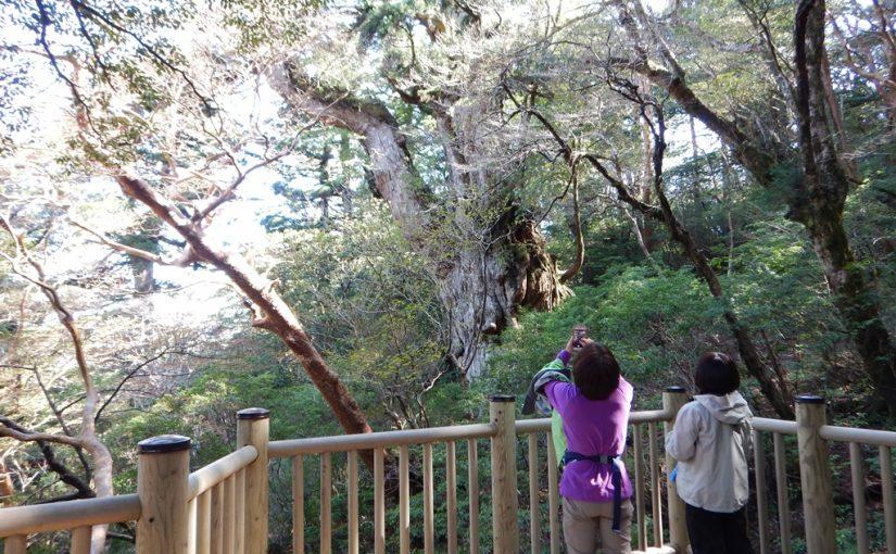 朝焼けの縄文杉