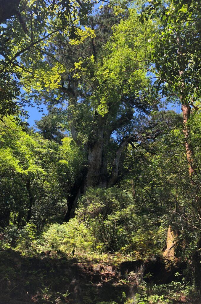 新緑に包まれる縄文杉