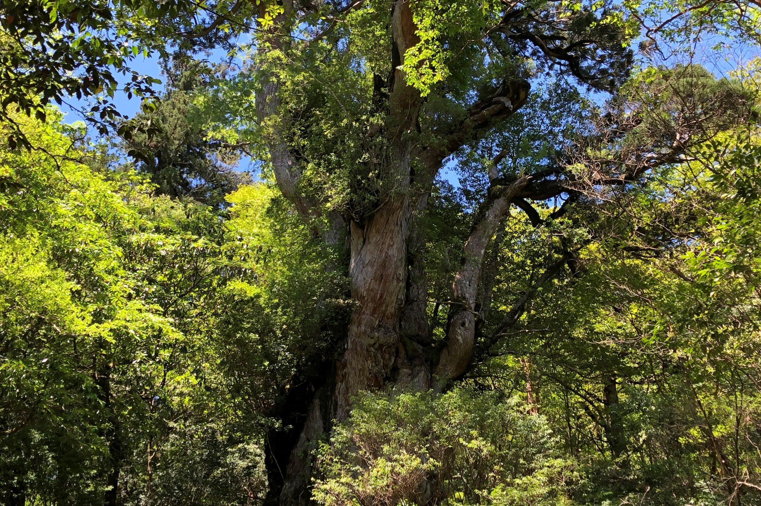 快晴の縄文杉